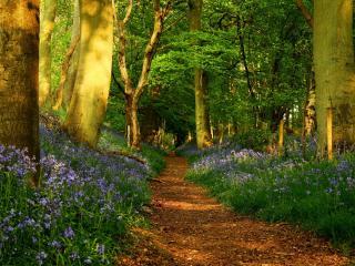 обои Синие цветы у лесной тропы фото