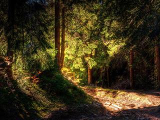 обои Солнцe в сосновом лесу фото