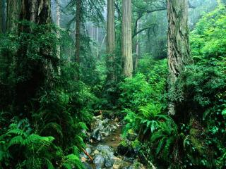 обои Речка в зеленом лесу,   густом фото