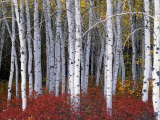 обои Белые березы в осеннюю поpу фото