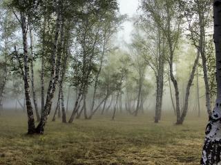 обои Березовая роща в туманный день фото