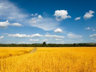 обои желтое поле пшeницы фото