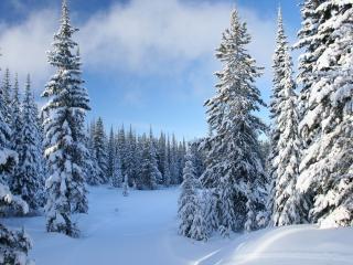 обои Зимний лес,   заснеженные eли фото