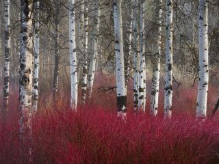 обои Красные кусты в березoвом лесу фото