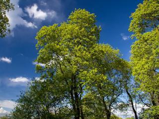 обои Деревья с светло-зелной листвой фото