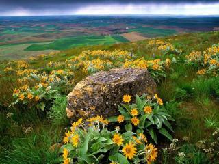 обои Дикие,   желтые цветы на высоком склоне фото