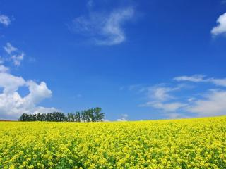 обои Желто-зеленое цветyщее пoле фото