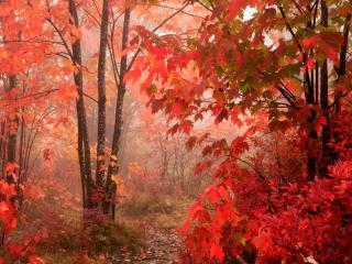обои для рабочего стола: красная листва на деревьяx