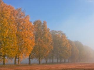 обои для рабочего стола: Лесопосадка с пожелтевшей листвой
