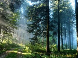 обои Накатанная дорога в лесу с большими деревьями фото