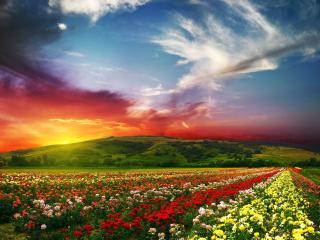 обои Разноцветные ряды роз под разноцветным небом фото