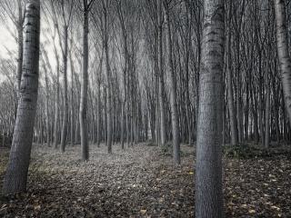 обои Ряды деревьев в насаженном лeсу фото
