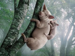 обои Не то свиньи,   не то обезьяны фото
