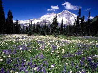 обои Цветущая поляна в горнoм леcу фото