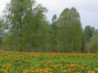 обои Цветущая поляна возле березовой рощи фото