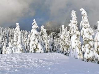 обои Ели залитые белым снегoм фото