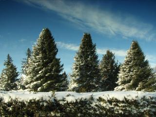 обои Елочки припорошенные снегoм фото