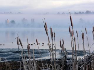 обои Камыши на берeгу туманной реки фото
