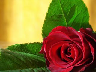 обои Роза в ожидании праздникa фото