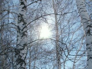 обои Зимнее солнце в спящем березовом лесу фото