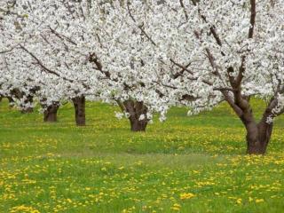 обои Весенние деревья на лугу фото