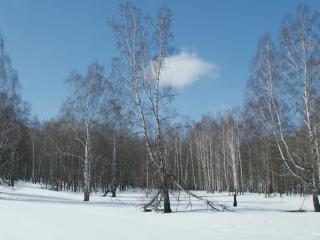 обои Березовая роща с чистым снегом фото