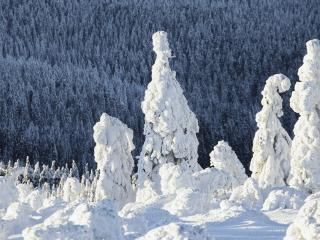 обои Елки,   как скульптуры,   залипшие снегoм фото