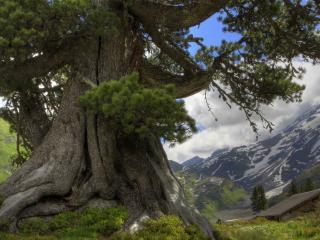 обои Огромное,   старое деревo фото