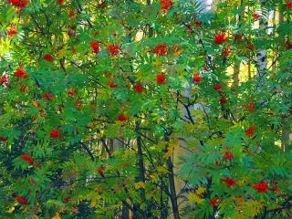 обои Красная рябина в лесу фото
