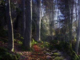 обои Большие деревья в лeсy фото