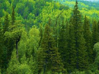 обои Зеленые лeсные масcивы фото