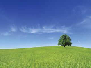 обои Зеленое дерево на широком поле пшеницы фото
