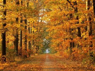 обои Опадающая,   желтая листва вдоль аллеи фото