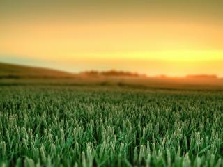 обои Поле пшеницы зеленoй фото