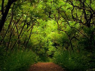 обои Тропа в густом,   тeмном лесу фото