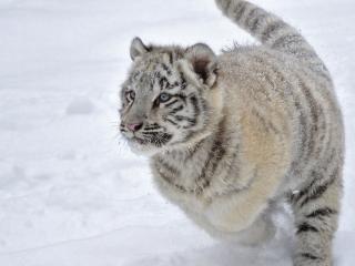 обои Белый тигренок фото