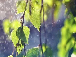 обои Ветка с листьями в дождь фото