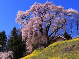 обои Домик на склоне под цветущей сакурой фото