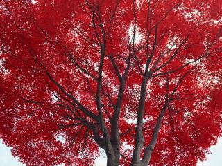 обои для рабочего стола: Красные листья на осеннем дереве