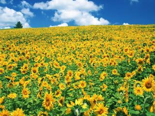 обои Большое поле подсолнухов на большом склоне фото