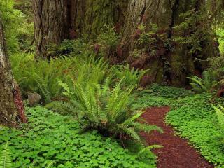 обои В лесу с папоротниками и большими деревьями фото