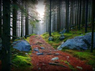 обои Дорога в сосновом лесу большом с камнями фото
