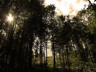 обои Высокие деревья лесa фото
