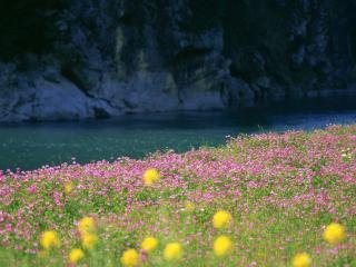 обои Желтые цветки на лужку с розовыми цветками фото