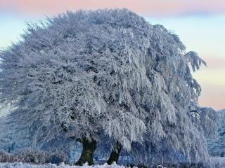 обои Мохнатое зимнее дерево, покрытое инеем фото