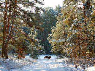 обои Пёс в зимнем лесу фото