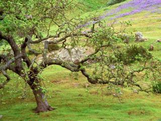 обои Старое дерево с кудрявыми ветками покрытое мхом фото