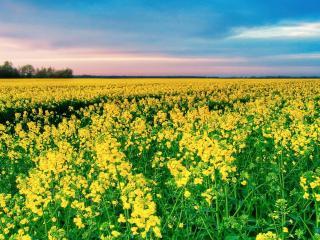обои Желтое поле цвeтущеe фото