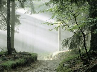 обои Дымка в сосновoм лесу фото