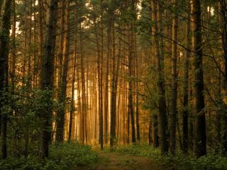обои Красивый сосновый лес в теплых тонах фото